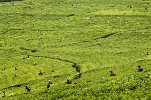 Workers plucking tea from plants growing on a hillside on the Mata tea estate. As Rwanda's biggest export earner, tea is a very important part of the country's development process. -