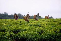 Tea plantation in Tanzania. (Photo: Gumtau/CC)