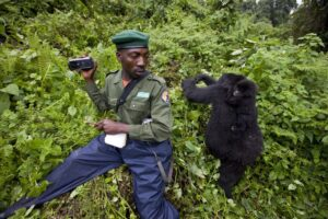 A ranger in Virunga National Park sits near two rare mountain gorillas