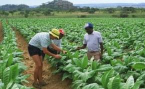 Tobacco growers in Zimbabwe (file photo).