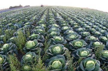 cabbages_new_637815556