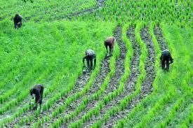 rice-field-nigeria