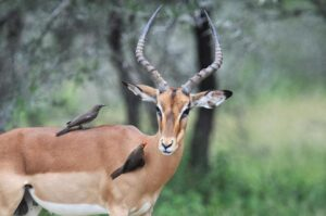 An impala is seen at the Kruger National Park, near Nelspruit, South Africa, on February 6, 2013 (AFP Photo/Issouf Sanogo)