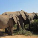 elephants-3-590x331