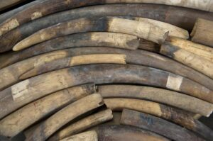 Over a ton of elephant ivory seized from poachers in Uganda and worth over a million dollars has itself been stolen from government strongrooms, reports said (AFP Photo/Anthony Wallace)
