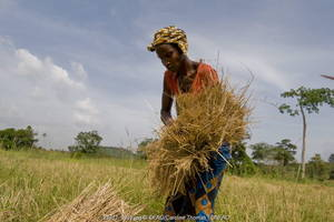 A Sierra Leone farmer bundling harvested rice to be threshed