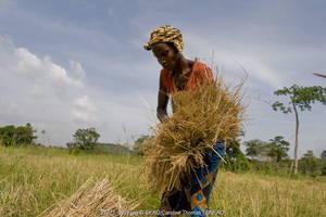 A Sierra Leone farmer bundling harvested rice to be threshed
