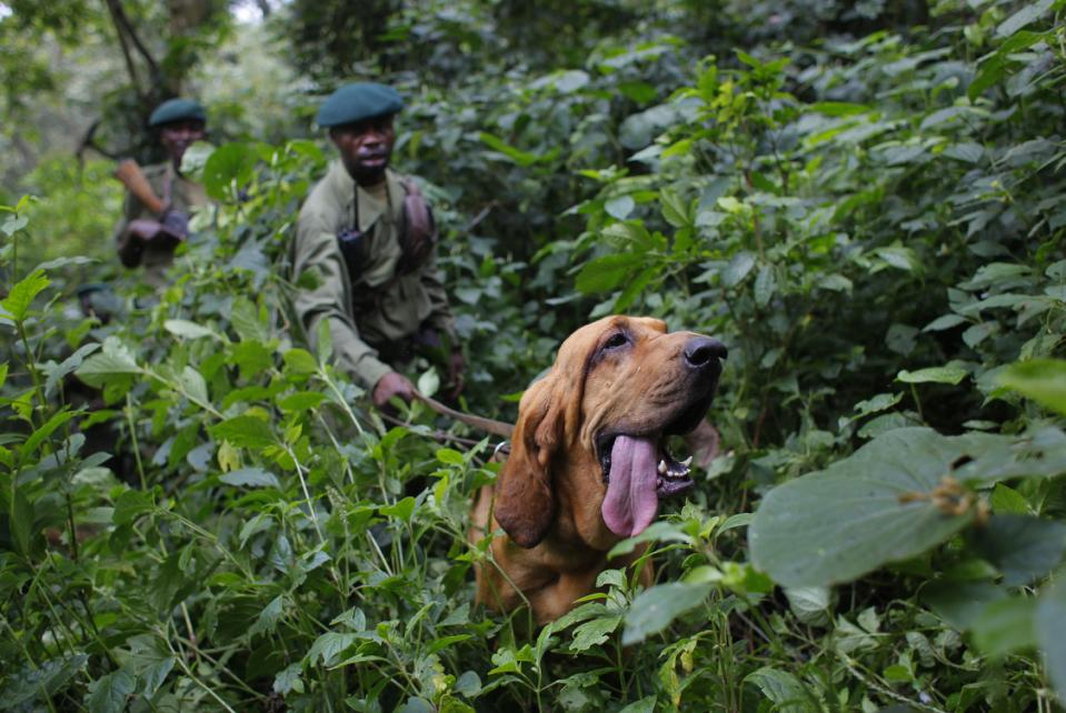 "FILE - In this picture taken Sunday Aug. 2, 2012, Virunga National Park rangers follow Dodi the two-year-old blood hound during a search and rescue exercise in the park, some 45 kms north of Coma, eastern Congo. Virunga National Park is where virtually every rebellion in eastern Congo in the past 30 years has started, and its endangered mountain gorillas, are facing increasing threats. ""Virunga"", the movie, is a nominee for best documentary feature, whose executive producer is Leonardo DiCaprio, is getting high-profile attention ahead of the Feb. 22 2015 Oscar awards in Hollywood. (AP Photo/Jerome Delay)"