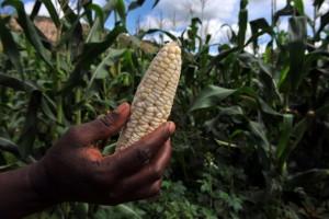 The bulk of Zimbabwe's annual corn crop has been written off due to poor rains (AFP Photo/Alexander Joe)