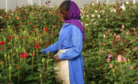 Photo: VOA A woman harvests roses (file photo).