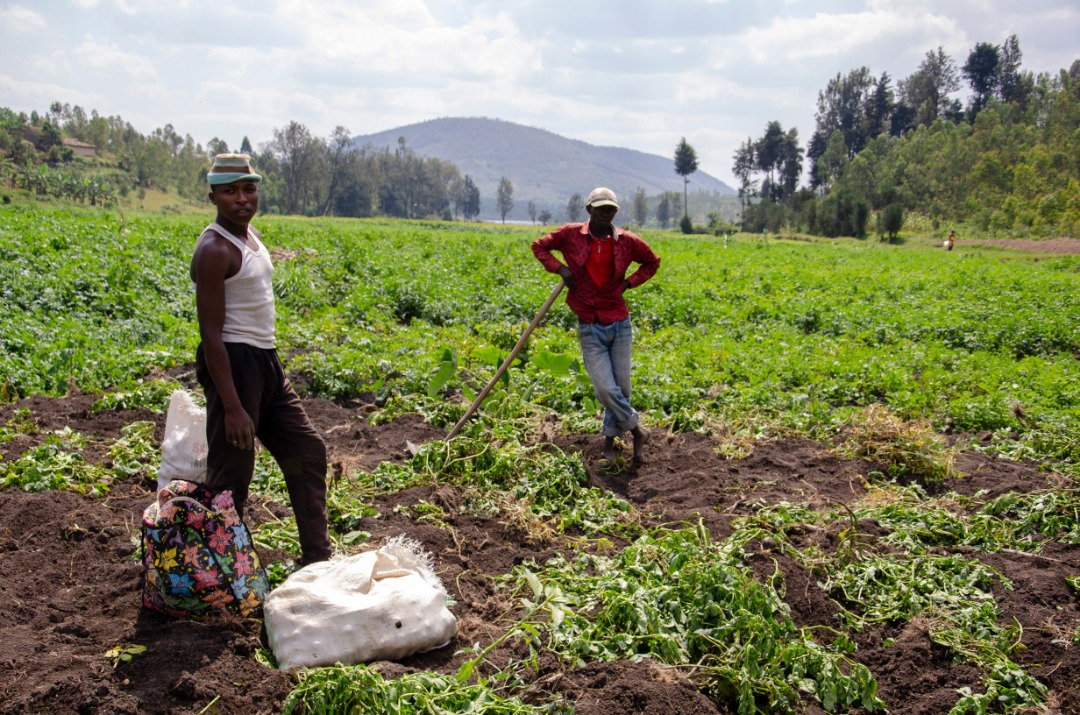 Farmers harvest potatoes in Nyanza District of Southern Rwanda in July 2019 (2)