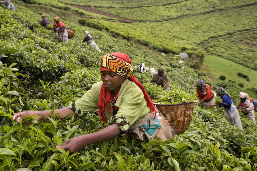 Rwandan farmers harvest tea leaves. Photo courtesy