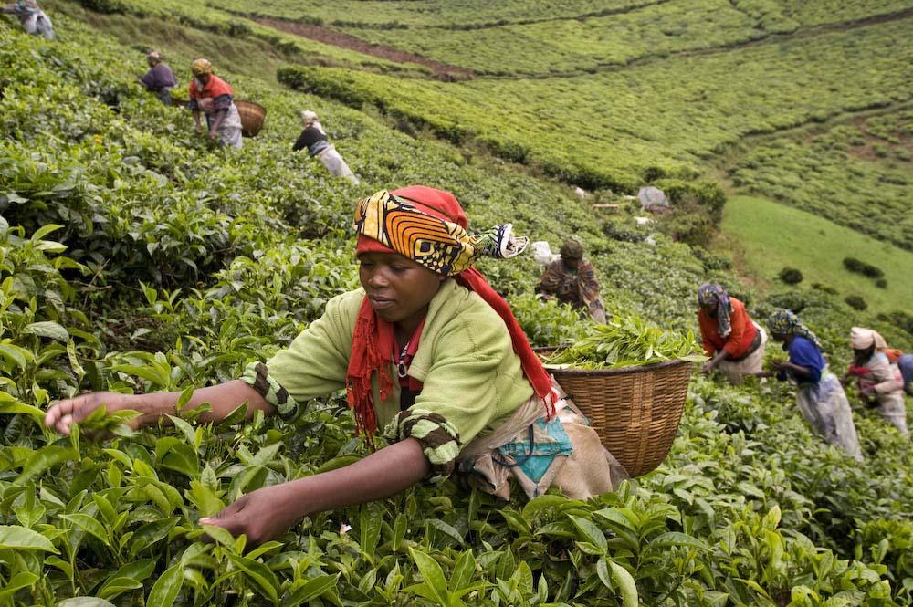 Rwandan farmers harvest tea leaves. Photo courtesy