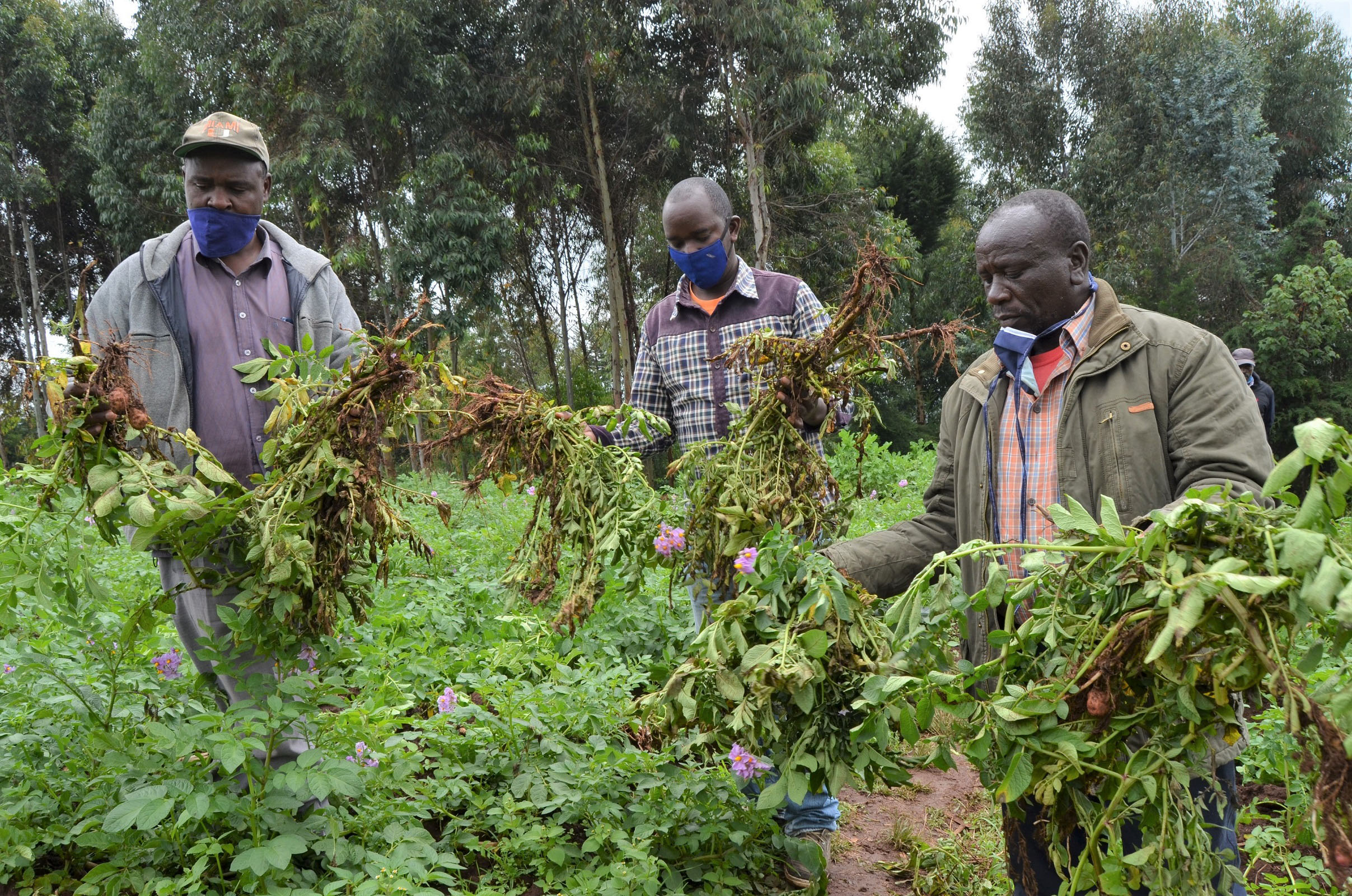 Potato farmers: A nematode that threatens to wipe away the entire crop is causing sleepless nights to researchers. PHOTO/SAMUEL BAYA/NATION