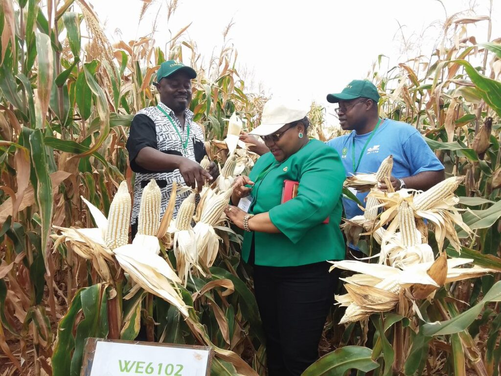 Partners working in a maize project called TELA are captured in a farm under research recently (Photo: African Agricultural Technology Foundation).