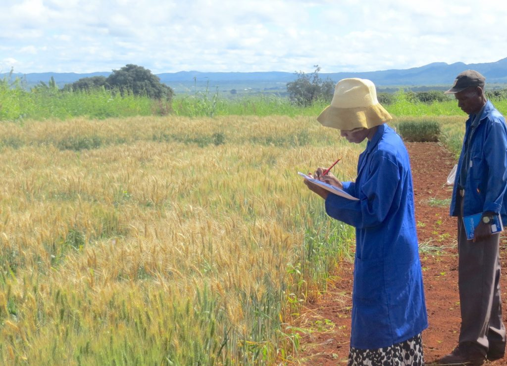 Scientists observe wheat blast in Zambia's Mpika district. (Photo: Batiseba Tembo/ZARI)