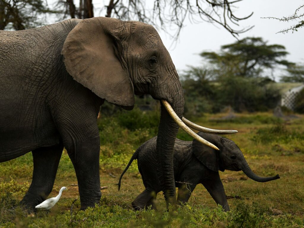 A mother elephant with her calf amble along as they head for a nearby marsh on World Elephant Day at the Amboseli National Park (365 kilometres southeast of the capital Nairobi) near Oloitiktok in Kajiado east county on August 12, 2020. (Photo by TONY KARUMBA / AFP) (Photo by TONY KARUMBA/AFP via Getty Images)